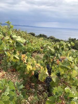 Plavac Mali, indigenous Croatian red variety, ripening on the slopes of Pelješac, sunbathing over the Adriatic